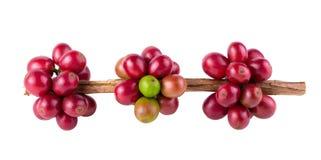 Maturation fraîche de grains de café d'arabica d'isolement sur le fond blanc photo stock