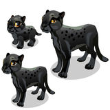 Maturation stages of black panther. Vector stock illustration