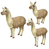 Maturation stages of lama, three stages of growth Royalty Free Stock Image