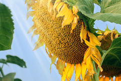 Maturation of sunflower, agriculture. Bright sunflower in sunlight rays, harvest ripening, agriculture Stock Images