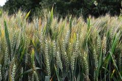 Maturazione del grano nel campo Immagini Stock Libere da Diritti