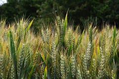 Maturazione del grano nel campo Fotografie Stock