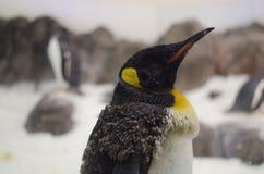 Maturazione del pinguino di imperatore adolescente Immagini Stock Libere da Diritti