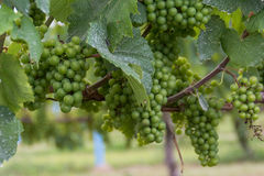Maturazione dell'uva sulla vite Immagine Stock