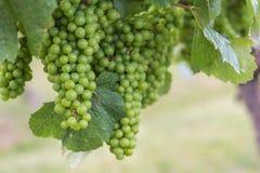 Maturazione dell'uva sulla vite Fotografie Stock Libere da Diritti