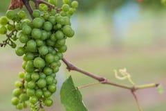 Maturazione dell'uva sulla vite Immagini Stock