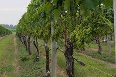Maturazione dell'uva sulla vite Fotografia Stock