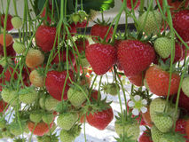 Maturazione delle fragole dalle piante idroponico coltivate ad un'altezza conveniente di raccolto nell'olandese specializzata Immagini Stock