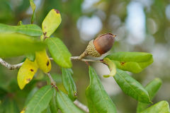 Mature acorn on the tree Stock Image