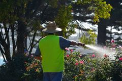 Mature adult man watering rose flowers. Active senior adult man watering rose flowers in a back yard garden royalty free stock photography