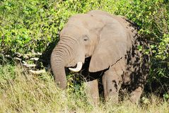 Mature African Elephant Royalty Free Stock Images