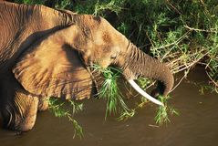 Mature African Elephant feeding Royalty Free Stock Photos