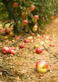 Mature apple on the ground in an appletree garden. Harvest time. Mature apple on the ground in an apple tree garden Stock Images