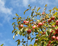 Mature apple tree Stock Photography