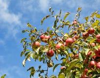 Mature apple tree Stock Photography