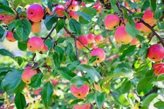 Mature apples growing on a tree branch stock image
