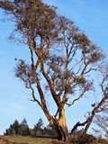 Mature Arbutus Tree. Arbutus Tree (Pacific Madrona), a tree that sheds its bark Stock Photography