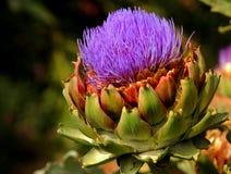 Mature artichoke Royalty Free Stock Image