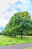 Mature Ash tree, Fraxinus exelcior, as Avenue planting in a nature park. Nice mature Ash tree, Fraxinus exelcior, as Avenue planting in a nature park with water stock photos