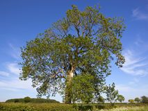 A mature Ash tree in the scenic Yorkshire wolds countryside in springtime. A mature ash tree in a flowering hawthorn hedgerowwith woodland and wildflowers under Royalty Free Stock Images