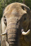 Mature Asian Elephant  - Pachyderm Stock Image