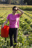 Mature Asian women collecting beans in Farm Field Royalty Free Stock Photos