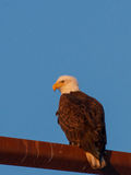 Mature Bald Eagle. A mature Bald Eagle sits on a light pole in search for its next meal Royalty Free Stock Images