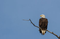 Mature Bald Eagle Stock Photo
