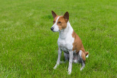 Mature basenji dog resting on a fresh lawn after everyday run Royalty Free Stock Photos