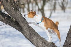 Mature Basenji dog scrambling on an apricot tree. Branch while hunting for birds at winter season royalty free stock images