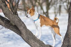 Mature Basenji dog standing on an apricot tree branch. While hunting for birds at winter season royalty free stock image