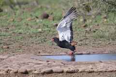 Mature Bateleur take off from a waterhole after drinking. Some royalty free stock images