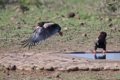 Mature Bateleur take off from a waterhole after drinking. Some royalty free stock photo