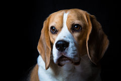 A mature beagle dog. Looking into the light with a black background Royalty Free Stock Image