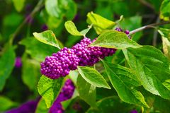 Mature Beautyberry Plant Royalty Free Stock Photos