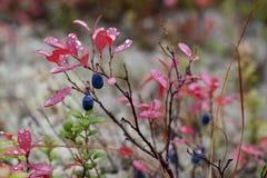 Mature berries of Vaccinium uliginósum in the autumn forest stock photography