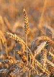 Mature big ears of wheat in the field in summer Royalty Free Stock Image