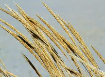 Mature big golden ears of wheat in the middle of the field Royalty Free Stock Photo