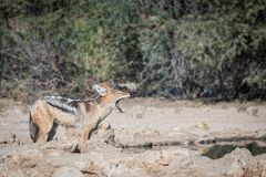 Black-backed Jackal hunting for birds royalty free stock photo