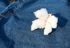Cotton Boll Sitting on Blue Jeans Textile Clothing Fiber. A mature boll of Cotton on blue jean background Royalty Free Stock Images