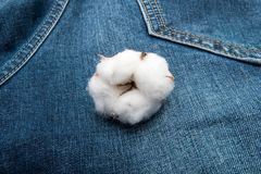 A mature boll of Cotton on blue jean background. A mature boll of Cotton on blue  jean background Royalty Free Stock Photo