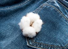 A mature boll of Cotton on blue jean background. A mature boll of Cotton  on blue jean background Stock Photography