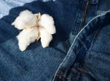 Cotton Sitting on Blue Jeans Made by Fiber. A mature boll of Cotton on a blue jean background raw to woven Royalty Free Stock Photography