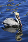 Mature Brown Pelican Reflected in the Water as He Swims Stock Image
