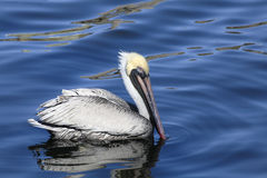 Mature Brown Pelican Swims in Blue Water Royalty Free Stock Photos