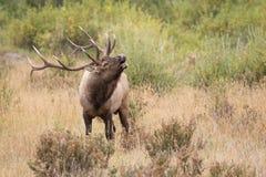 Mature Bull Elk in Rut. Rutting Bull Elf Bugling in Rocky Mountains Stock Image