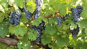 Mature bunches of grapes on the plantations Royalty Free Stock Images