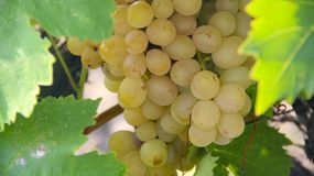 Mature bunches of grapes on the  plantations Royalty Free Stock Photos