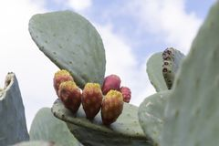 Mature cactus fruit ready to be harvested. Macro of a cactus fruit on a cactus stock image