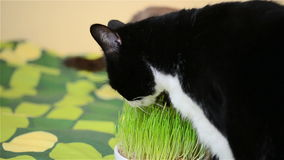 Mature cat eating grass stock footage